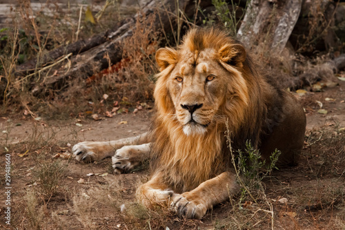 Fototapety, obrazy: powerful male lion with a beautiful mane impressively lies against the background of bushes.