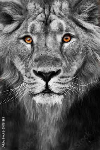 muzzle of a lion with a mane black and white with amber eyes black and white., Muzzle powerful male lion with a beautiful mane close-up.