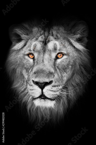 amber eyes on a black and white photo. lion male with mane lies with his paws out, isolated black background. Muzzle powerful male lion with a beautiful mane close-up.