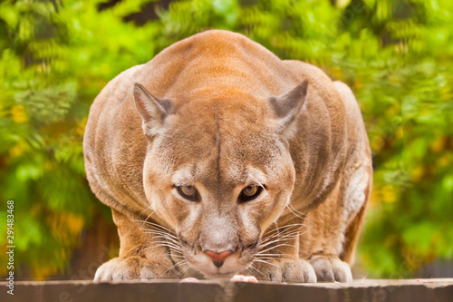 A powerful body and a portrait of a cougar (cougar) close-up full-face, looking directly at you, a green background of greenery
