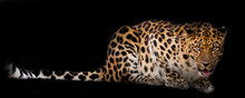 Leopard  Lies Isolated On A Black Background.