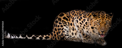 Poster Leopard Leopard lies isolated on a black background.