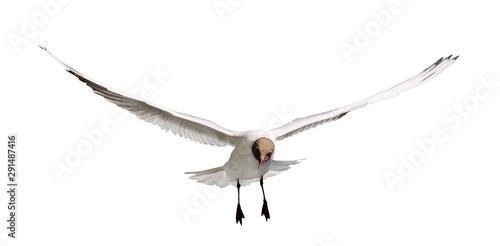 flying on white black head seagull Wallpaper Mural