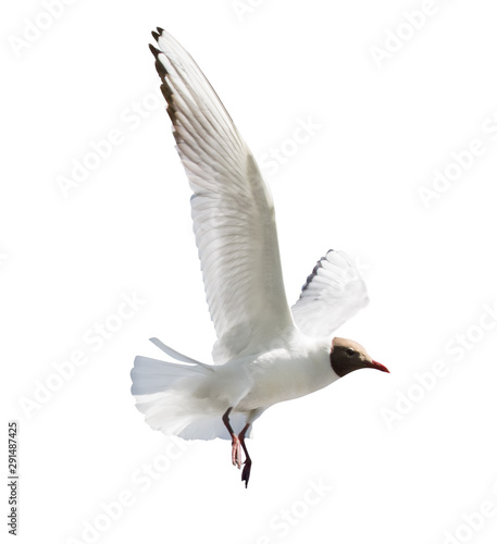 black head seagull flying on white