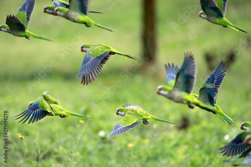 Spoed Fotobehang Papegaai Flock of parrots in flight