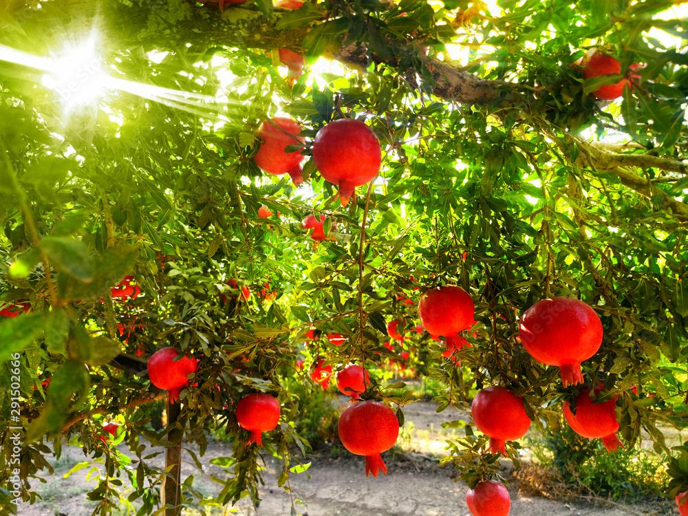 Fototapety, obrazy: Ripe Pomegranates