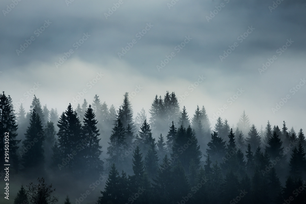 Fototapeta coniferous trees in the fog in the highlands. Vintage style photo.