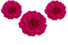 Three Huge Pink Roses On An Is...