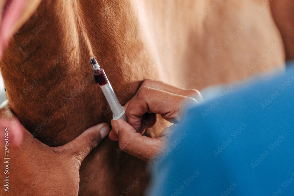 Fototapety, obrazy: blood draw on a horse