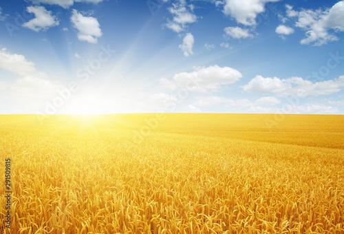 Foto auf AluDibond Orange Wheat field and sun