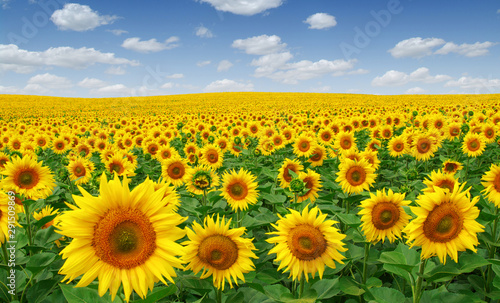 obraz lub plakat Sunflowers field on sky