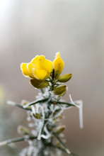 Frosted Gorse With Yellow Winter Flowers