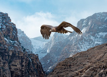 Golden Eagle (Aquila Chrysaetos) In Flight Over Snow-Dusted Mountains...Some Native Peoples Believe The Eagle Can Take Your Dreams To Heaven