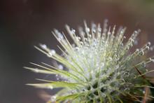 Burdock (Arctium Minus),  Wate...