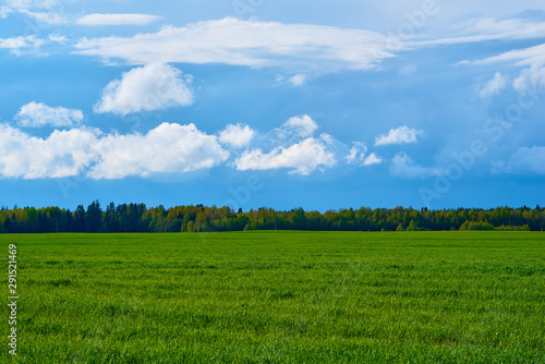 natural landscape of the green agricultural field or meadow with the blue sky and a grove on the horizon
