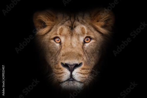 maned male lion with yellow (amber) eyes looks at you anxiously and attentively, close-up face. portrait in isolation, black background.