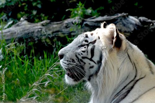 Profilo di tigre bianca Wallpaper Mural