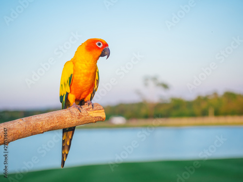 Cadres-photo bureau Perroquets Beautiful Sun Conure parrot perched on branches in the park in a cute manner with copy space. Sun Conure is a bird pet that is left to live freely.