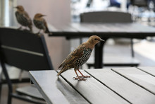 Common Starling On A Table In ...