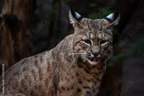 portrait of a bobcat #291540098