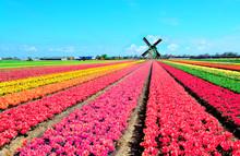 Dutch Windmill And Colorful Tu...