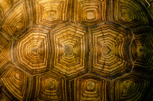 African Spurred Tortoise Shell...