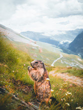 Marmot Closeup With The Alpine Road To Grossglockner In The Background