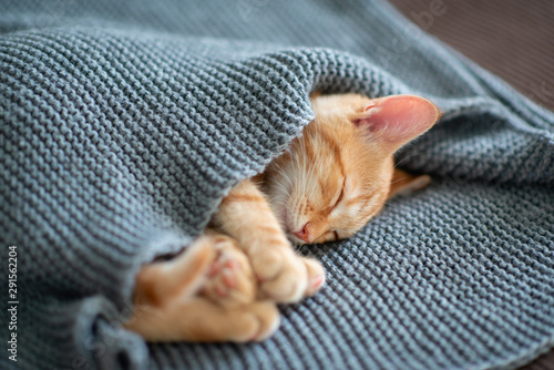 fototapeta na ścianę Cute red kitten sleeps on the back on sofa covered with a gray knitted blanket. Adorable little pet. Cute child animal