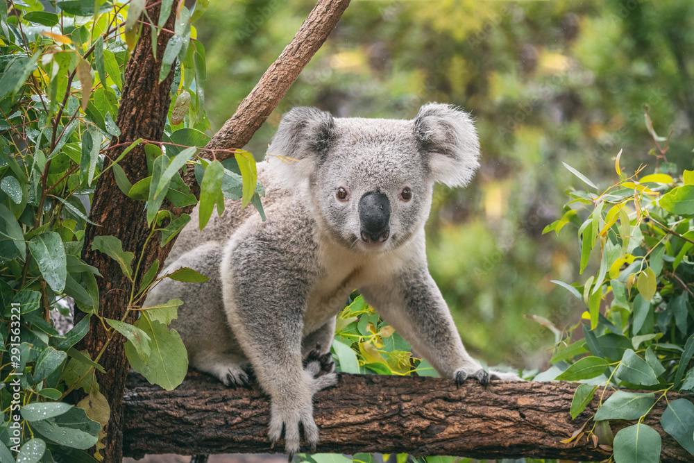 Fototapeta Koala on eucalyptus tree outdoor.