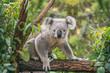 Leinwanddruck Bild - Koala on eucalyptus tree outdoor.