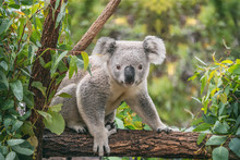 Koala On Eucalyptus Tree Outdoor.