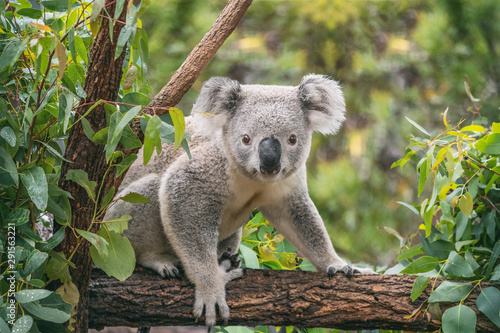 Poster de jardin Koala Koala on eucalyptus tree outdoor.