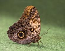 Caligo Rurilochus, Butterfly Owl On Green Background
