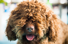 Barbet Dog Looking At Camera. Brown French Water Dog.