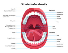 Structure Of Oral Cavity. Huma...