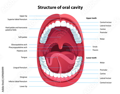 Fotografie, Tablou Structure of oral cavity. Human mouth anatomy