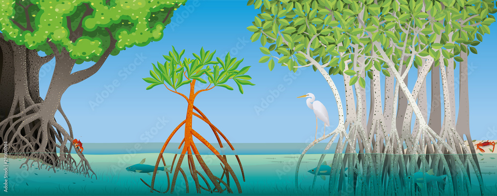 Fototapeta Drawing of three different types of mangrove with underwater roots with fish, crabs and a white heron in the scene. Vector image