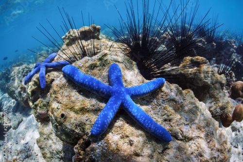 two-blue-sea-stars-lie-on-the-bottom-of-the-sea-among-sea-urchins