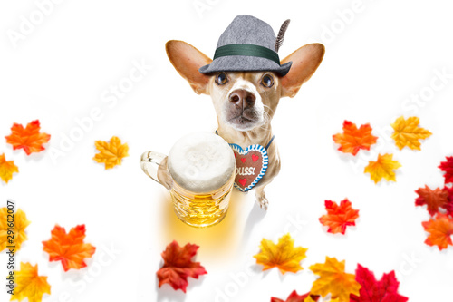 Foto op Plexiglas Crazy dog bavarian beer chihuahua dog