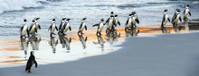 African Penguins Walk Out Of T...