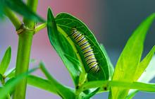 Fat Striped Caterpillar