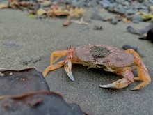 Dungeness Crab In Alaska