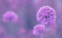 Blüte Des Zierlauch ( Allium ...
