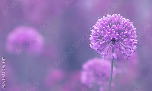 Blüte des Zierlauch ( Allium ) - Platz für Text Canvas Print