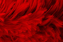 Dark Red Feathers Background