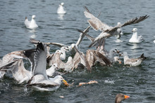 Seagull Flying & Swimming Lake...