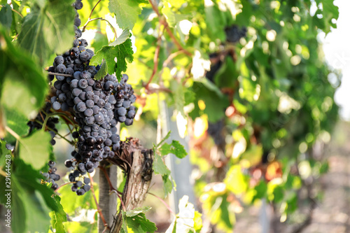 Tuinposter Wijngaard Fresh ripe juicy grapes growing in vineyard