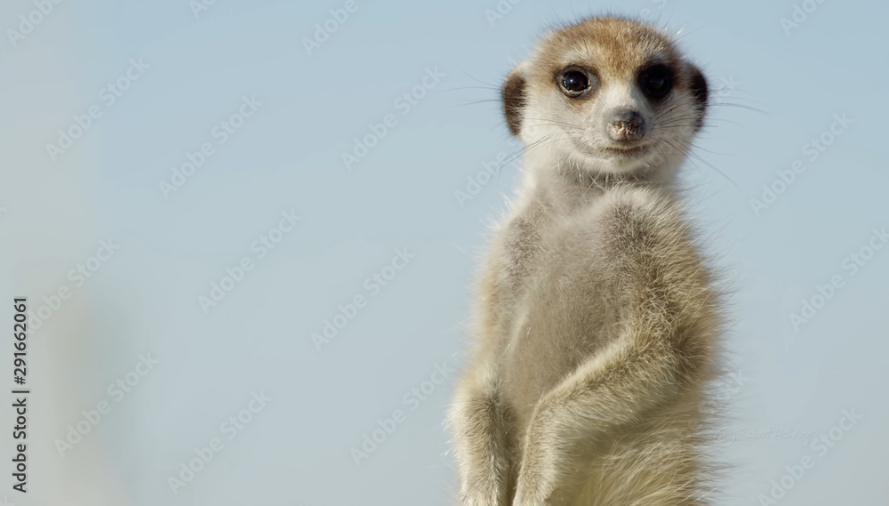 Fototapety, obrazy: African suricata standing on foot