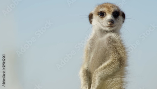 African suricata standing on foot - 291662061