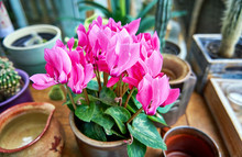 Pink Cyclamen Flowers In A Flo...